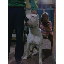Cachorros Dogos Argentino