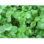 Semillas De Berro De Agua - Hidroponia- Tierra X 10 Gramos