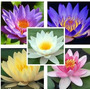 Nenufar - Nymphaea - Water Lilies Mix Semillas