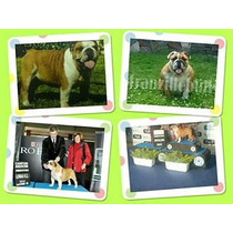 Bulldog Ingles Hijos De Campeon Pedigree Excelente