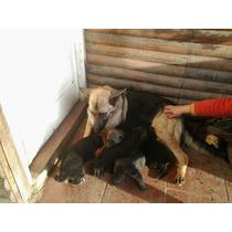 Ovejeros Alemanes Cachorros Exelentes En Brandsen Acepto Mp