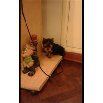Yorkshire Terrier Hembras Minis Excelentes Con Pedigree Fca