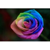 Semillas De Rosa Arco Iris Multicolor, Rosa Exótica, Flor