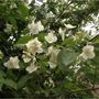 Arbusto Para Jardin: Angélica