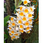 Orquídea Dendrobium Thyrsiflorum En Flor Exotica Orquideas