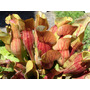Sarracenia Purpurea Planta Carnívora Semillas Para Cultivo
