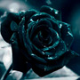 Semilla Rosa Negra Black Rose Flores Raras 10 Semillas