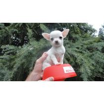 Chihuahuas Mini.cachorros.cabaña Scaligers