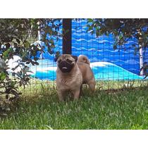 Pug Carlino En Servicio De Stud Y Monta