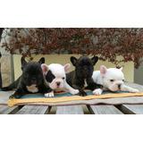 Bulldog Frances Machos Y Hembras Con Fca!!!!!!!!!!