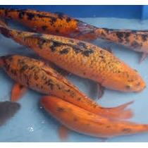carpas koi criadero peces usado en mercadolibre argentina