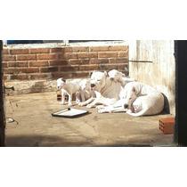 Cachorros Dogos Argentinos