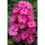 Plantas Adultas De Phlox Paniculata!!!!!