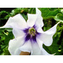 Exótica/ Rara Plantín Datura Stramonium (estramonio) (av,l)
