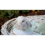 Conejos Enanos Holland Lop Puros.  Cabaña Ciudad Jardín