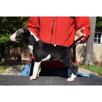 Bull Terrier - Cachorras