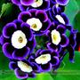 Semilla Petunia Tricolor Flores Raras 20 Semillas