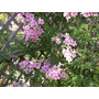 Bignonia Rosada - Rápido Crecimiento - Cañuelas