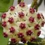 Semilla Hoya Carnosa Flor De Cera Flores Raras 10 Semillas