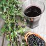 6 Plantas De Maqui De 15 Cm. La Fruta Con Mas Antioxidantes