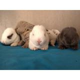 Adorables Conejitos Enanos Holland Lop