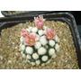 Cactus Mammillaria Gracilis Cv Oruga Blanca Únicos!!