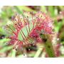 50 Semillas De Plantas Carnivoras - Droseras Mix Neocultivos