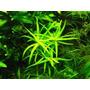 Heteranthera Zosterifolia (plantas De Acuario)