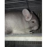 Chinchilla Mascota Y Reproduccion¡¡¡ Animales Exóticos¡¡¡