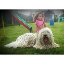 Cachorro Komondor Terranova Labrador Mastin Golden Fila Dogo