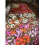 Alegria Del Hogar En Envase Nro 12 Flor Por Pedido Plantas