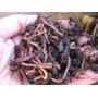 2000 Lombrices Rojas Californianas-alimento-guia De Cria