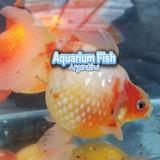 Goldfish Carassius Peces Agua Fria Perlados 3,5cm