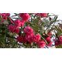 Planta De Laurel De Flor Rosa Exterior Maceta Tierra Jardin