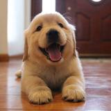 Maravillosos Cachorros Golden Retriever 100% Garantia+libret