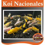 Carpas Koi Nacionales 13-15 Cm Estanques Lagunas