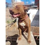 Pitbull,cachorros,macho,hembra