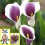Bulbos De Flor Cala Picasso Gigante X 1 Bulbos-semillas