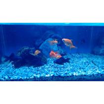 Peces De Agua Fria. Telescopico. Goldfish. Calicos 8 Cm!!!