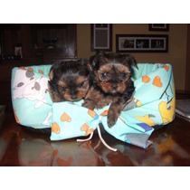 Yorkshire Terrier Machos ,los Mas Minis Del Mercado $ 7999