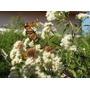 Mariposera Eupatorium Ivilifolium Arbusto Nativo