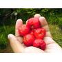 Cereza De Barbados Acerola Fruta Bonsai Semillas P/ Plantas