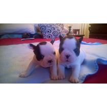 Cachorros Bulldog Frances, Precio Reserva!!