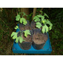 Plantines De Ginkgo