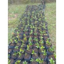 Jardiner a plantas plantas con flores jazmines con los for Jazmin planta precio
