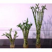 Lucky Bamboo - Bambu De La Suerte - Bambu Rectos 25 A 30 Cm