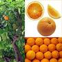 Naranjo De Ombligo Certificado, Pomelo, Mandarino, Kinoto