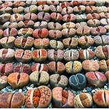 Lithops Cactus Piedra Combo 10 Unidades Plantas Raras (av,l)