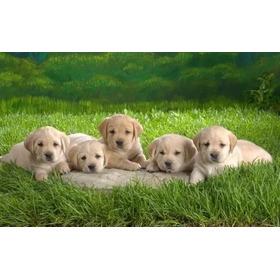 Labradores Retriever Cachorros !!!