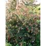 Arbustos Para Cerco Cotoneaster - Grataegus - Laurel De Flor